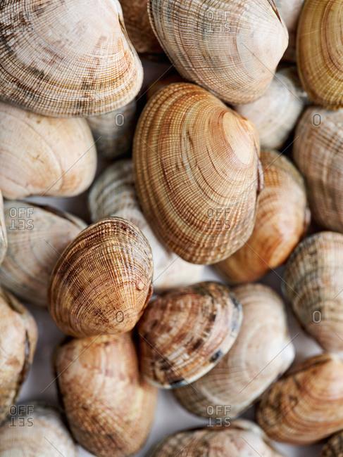 Macro view of quahog round clams