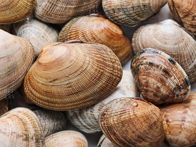 Horizontal close up shot of raw quahog clams