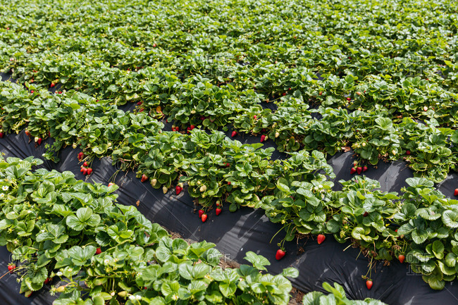Strawberry plants growing in rows on a farm