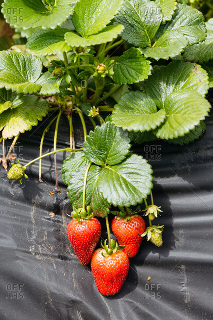 Close up of a strawberry plants growing on a farm