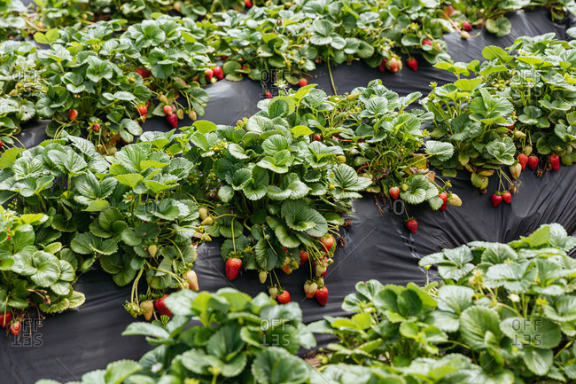 Several strawberry plants growing in rows in a garden