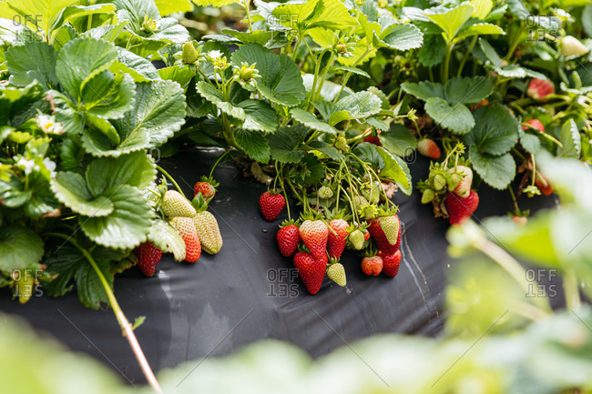 Strawberry plants growing in rows in a garden