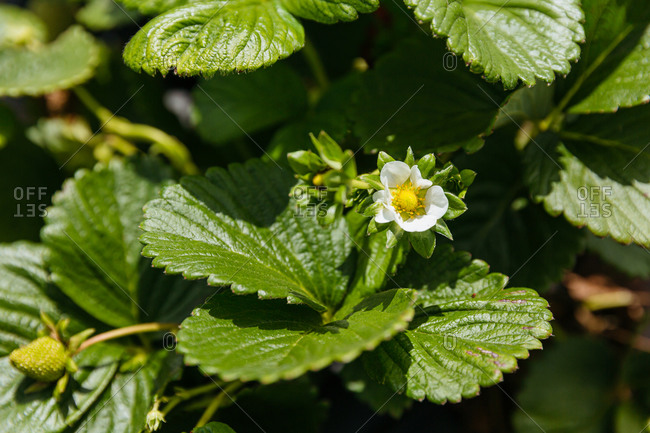 Close up of a strawberry blossom