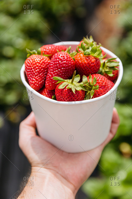 Person's hand holding a container filled with red strawberries picked from a garden
