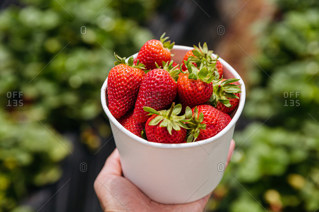 Person holding a white container filled with red strawberries