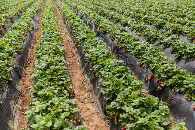 Rows of strawberry plants growing on a farm