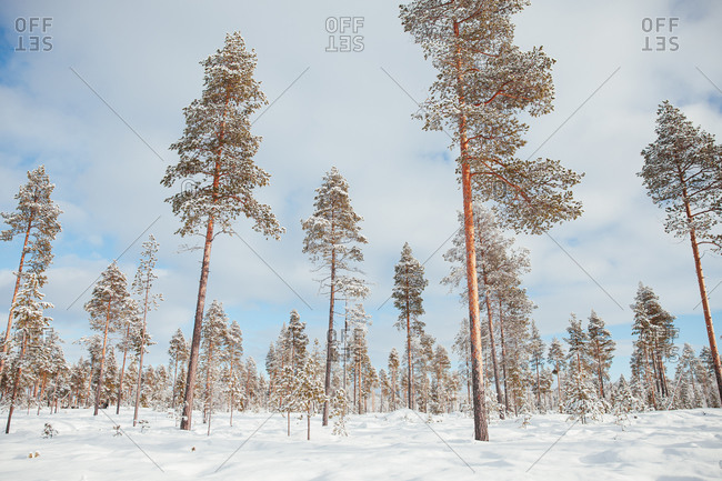 Snowy forest in Finland