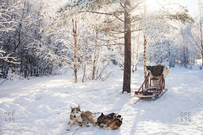 Two sled dogs resting in the snow in rural Finland in winter