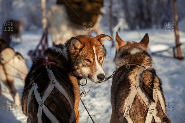 Sled dogs resting in the snow in rural Finland in winter
