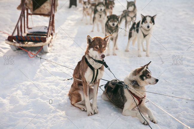 Pack of sled dogs taking a break in the snow in rural Finland in winter