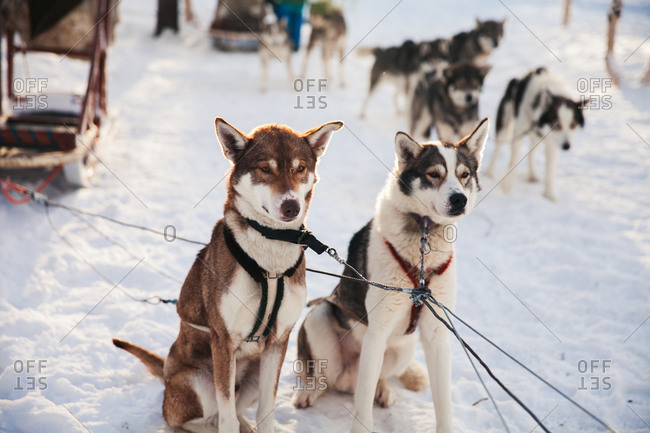 Husky sled dog sitting in the snow in rural Finland in winter