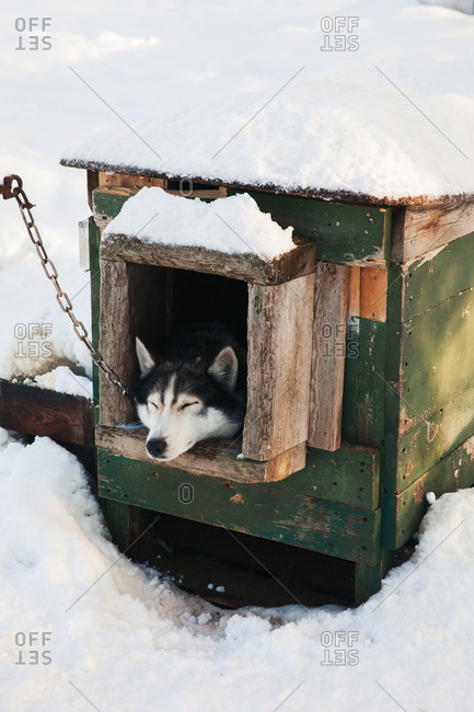 Husky sled dog sleeping in dog house