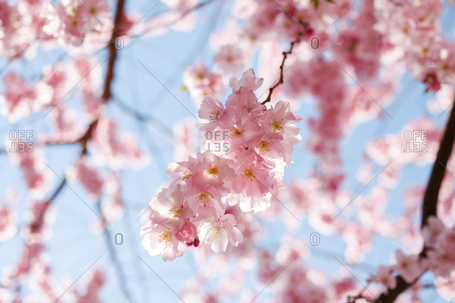 Beautiful pink blossoms on a tree