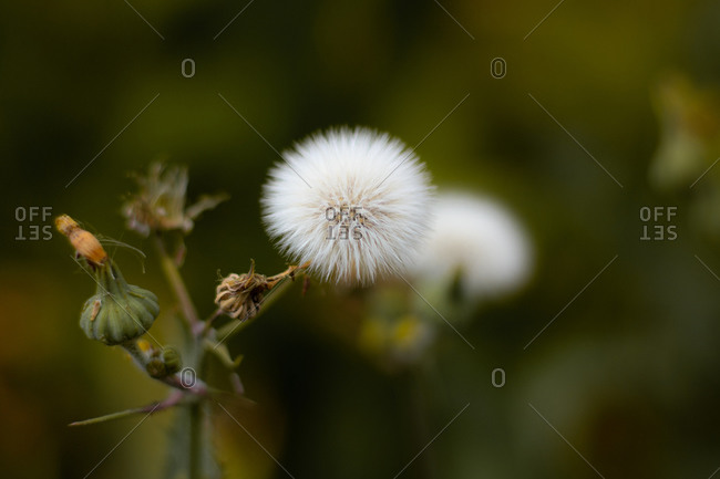 Close up of a very fluffy dandelion