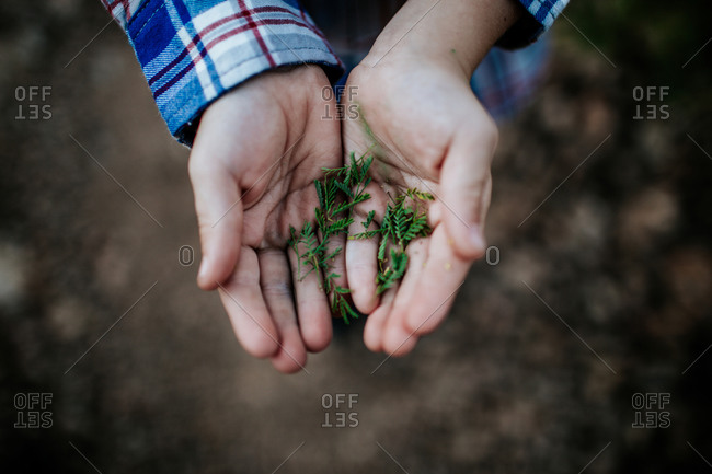 Over head view of small leaves in a child's hand