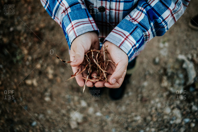 Over head view of child holding dried bean pods in their hands