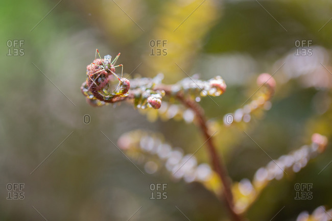 Assassin bug on a fern fiddlehead
