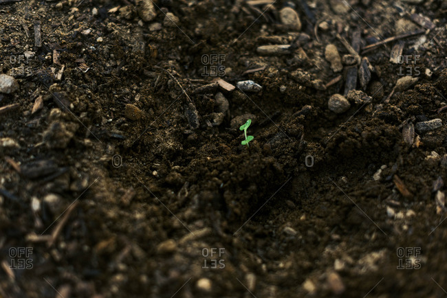 A broccoli seedling in a loam and compost mix and ready to grow.