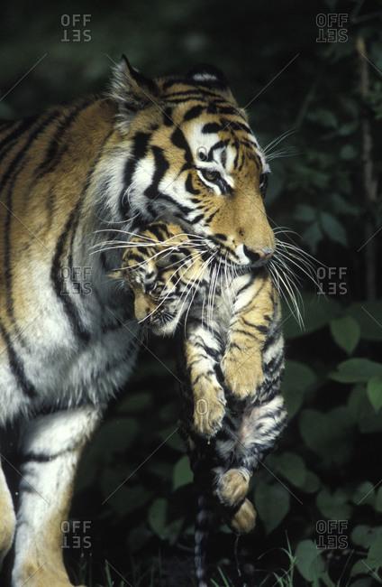Eastsibirian tiger carrying cub in habitat