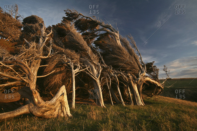 New Zealand- Bizarre trees at twilight