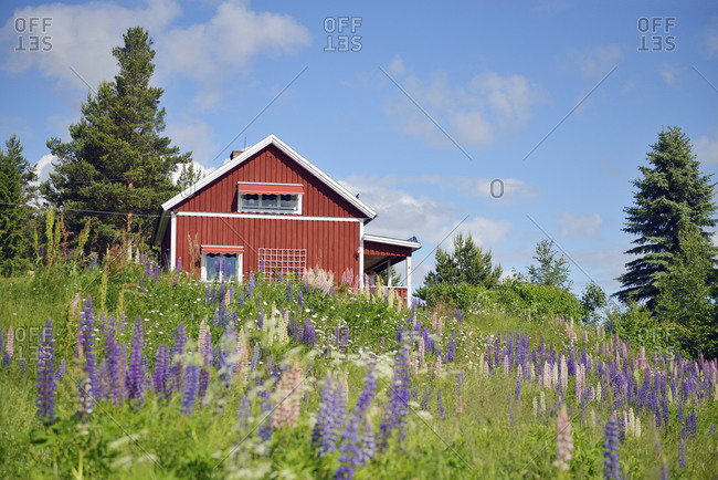 Sweden- Mora- Typical red wooden house and wild lupines