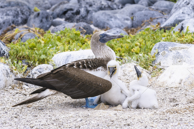 Ecuador- Galapagos Islands- San Cristobal- Blue-footed Booby with chicks