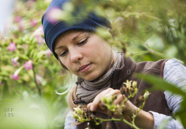 Austria- Schiltern- Alternative gardener at tobacco plant