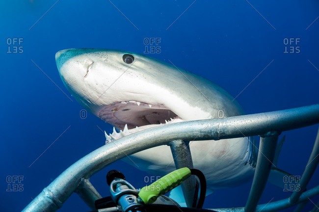 Mexico- Guadalupe- Pacific Ocean- white shark- Carcharodon carcharias- at shark cage