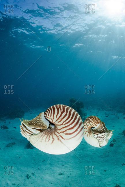 Oceania- Palau- Palau nautilusses- Nautilus belauensis- in Pacific Ocean