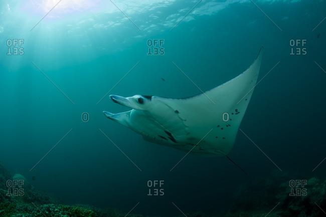 Oceania- Micronesia- Yap- Reef manta ray- Manta alfredi