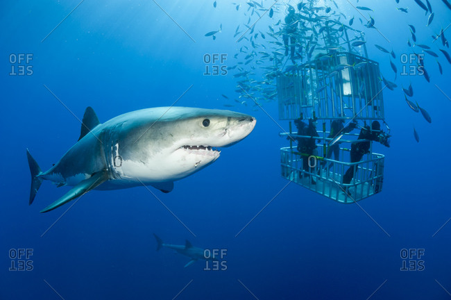 Mexico- Guadalupe- Pacific Ocean- scuba divers in shark cage with white shark- Carcharodon carcharias- in the foreground