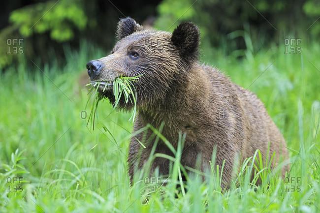 Canada- Khutzeymateen Grizzly Bear Sanctuary- Portrait of a Grizzly