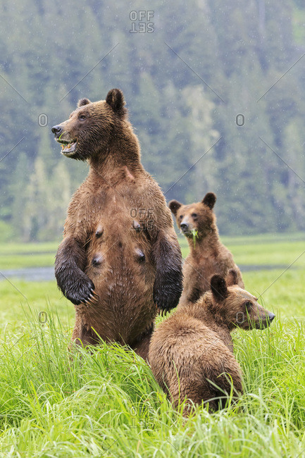 Canada- Khutzeymateen Grizzly Bear Sanctuary- Female grizzly standing upright with kids