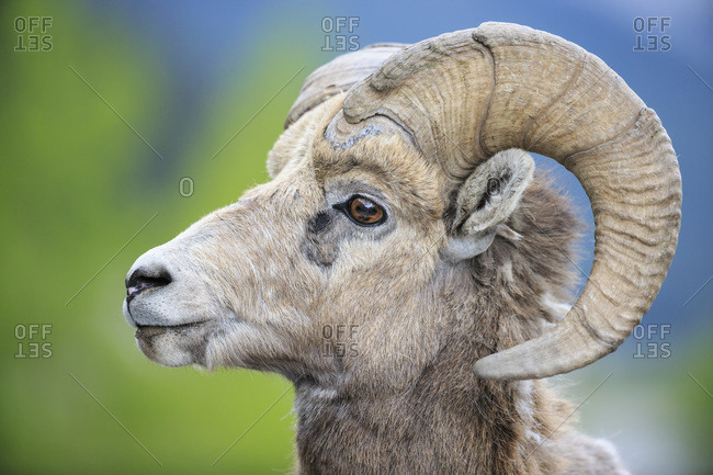 Canada- Alberta- Rocky Mountains- Jasper National Park- Banff National park- portrait of rocky mountain bighorn sheep (Ovis canadensis)