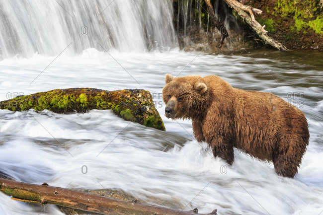 USA- Alaska- Katmai National Park- Brown bear (Ursus arctos) at Brooks Falls- foraging