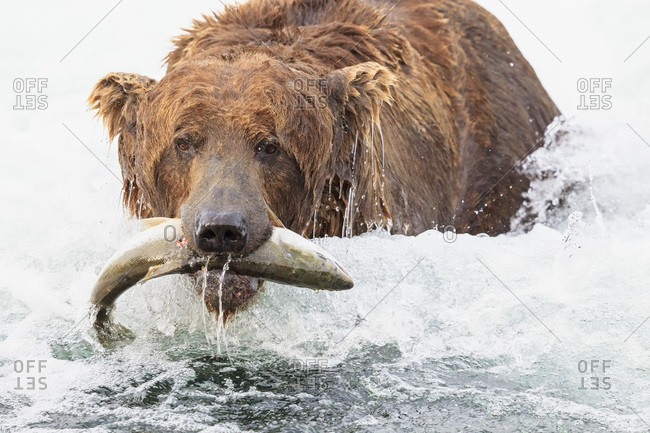 USA- Alaska- Katmai National Park- Brown bear (Ursus arctos) at Brooks Falls with caught salmon