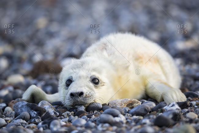 Germany- Helgoland- Duene Island- Grey seal pup (Halichoerus grypus) lying at shingle beach