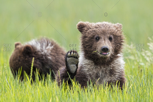 USA- Alaska- Lake Clark National Park and Preserve- Brown bear cubs (Ursus arctos)