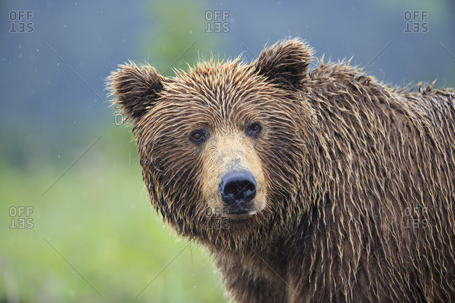 USA- Alaska- Lake Clark National Park and Preserve- Brown bear (Ursus arctos)