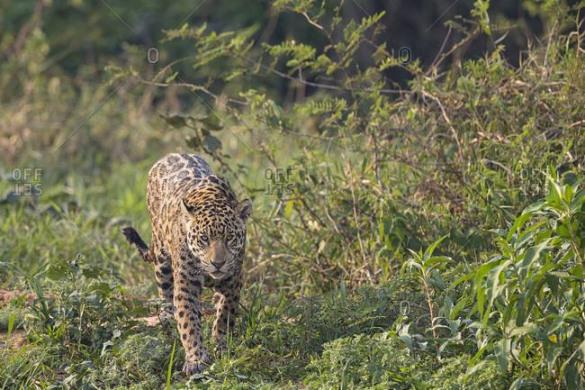 South America- Brasilia- Mato Grosso do Sul- Pantanal- Jaguar- Panthera onca