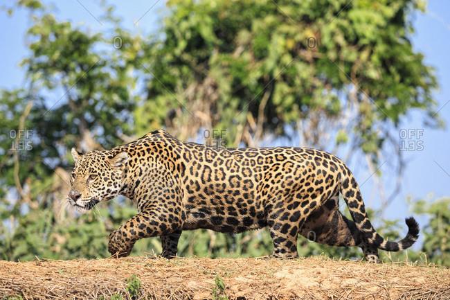 South America- Brasilia- Mato Grosso do Sul- Pantanal- Cuiaba River- Jaguar- Panthera onca