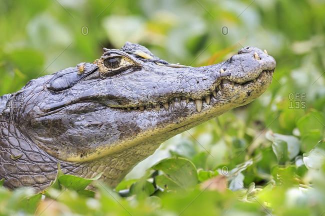 South America- Brasilia- Mato Grosso do Sul- Pantanal- Yacare caiman- Caiman yacare