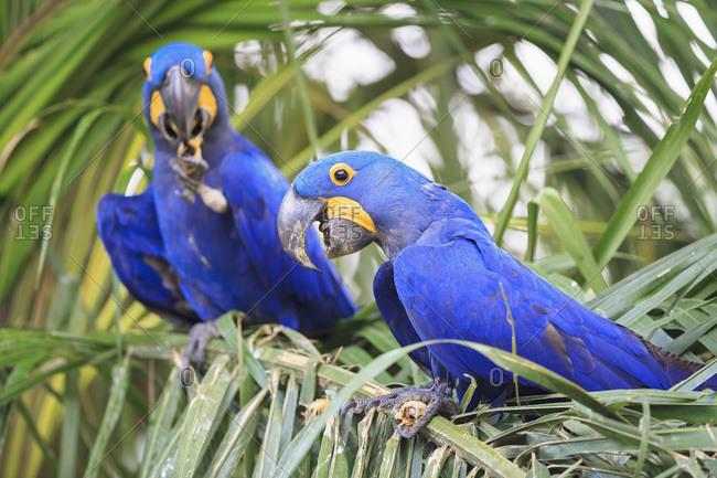 Brazil- Mato Grosso- Mato Grosso do Sul- Pantanal- hyazinth macaws -Anodorhynchus hyacinthinus- sitting on branch