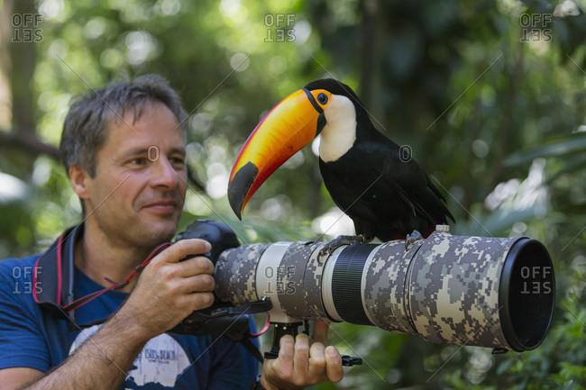Brazil- Mato Grosso- Mato grosso do Sul-  common toucan- Ramphastos toco- sitting on camera of a photographer