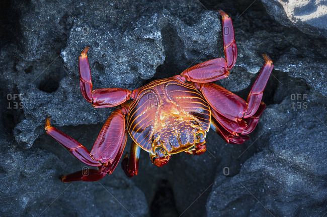 Ecuador- Galapagos Islands- Santiago- red rock crab