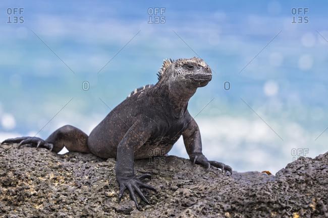 Ecuador- Galapagos Islands- Santa Cruz- Marine iguana- Amblyrhynchus cristatus