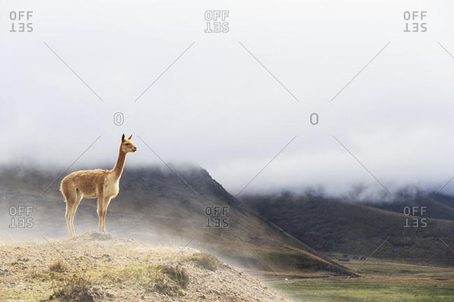 Ecuador- Chimborazo- vicuna standing on a hill