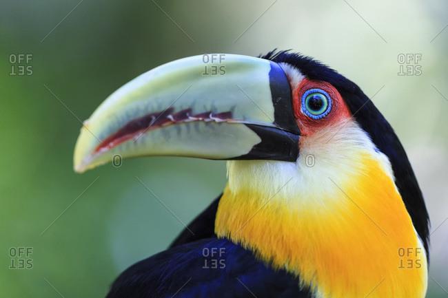 Brazil- Mato Grosso- Mato grosso do Sul- portrait of green-billed toucan- Ramphastos dicolorus