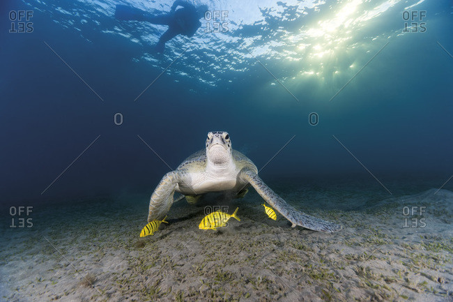 Egypt- Red Sea- Green sea turtle (Chelonia mydas) eating seaweed
