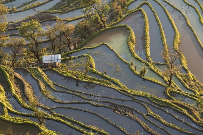 China- Yunnan- Yuanyang- Woman walking in rice terraces
